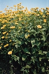 Heliopsis helianthoides - Early Sunflower